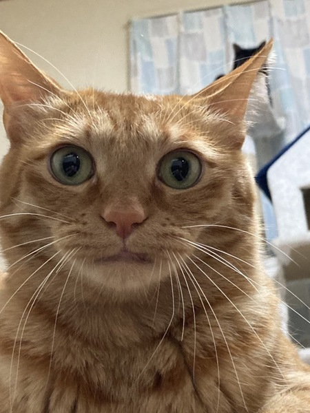 猫 ミックス ボブくんの写真