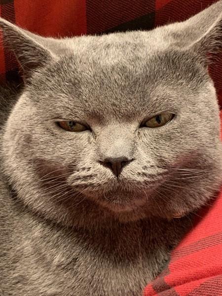 猫 ブリティッシュショートヘア ヒロ太の写真