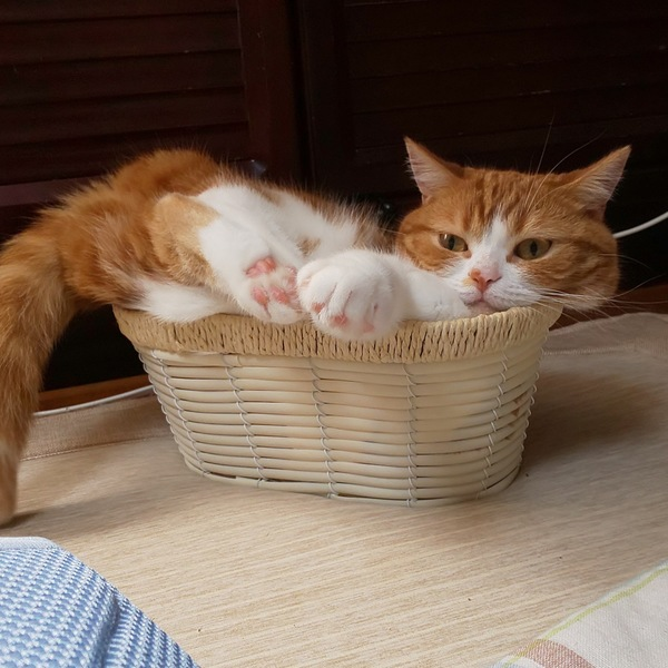 猫 マンチカン きなこの写真