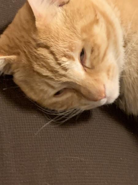 猫 茶トラ 茶トラの写真