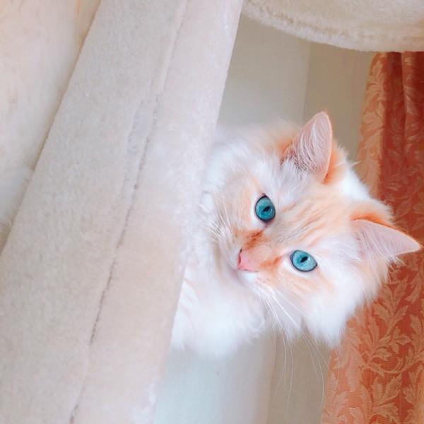 猫 ラグドール ハクの写真