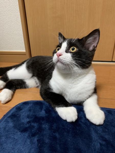 猫 スコティッシュフォールド ルークの写真