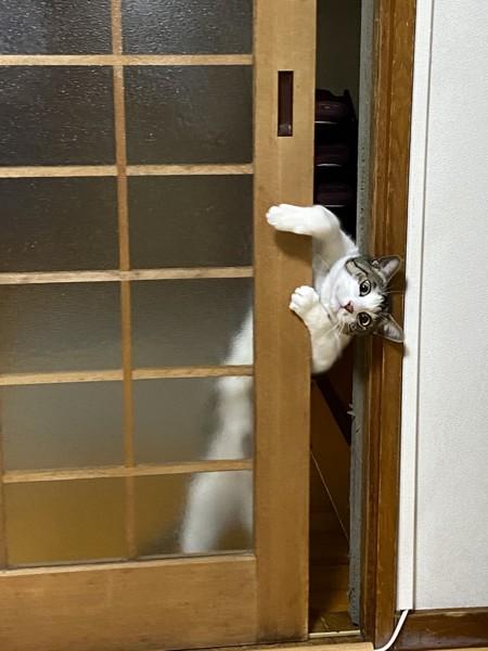 猫 キジシロ 天丸の写真