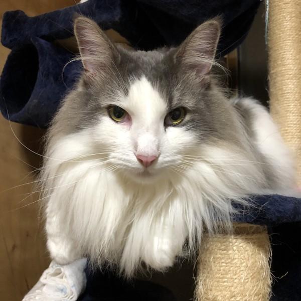 猫 ノルウェージャンフォレストキャット ポンタの写真