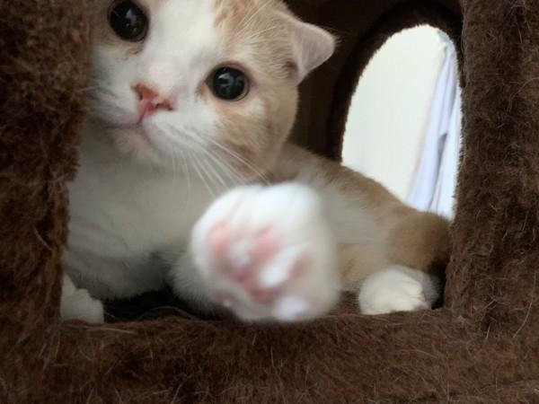 猫 スコティッシュストレート めかぶの写真