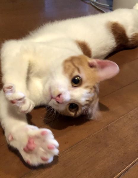 猫 茶白トラ まゆの写真