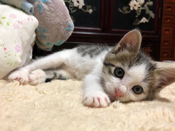 猫 雑種(ミックス) ラテの写真