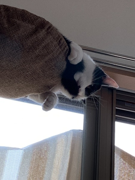 猫 雑種(ミックス) ソラの写真
