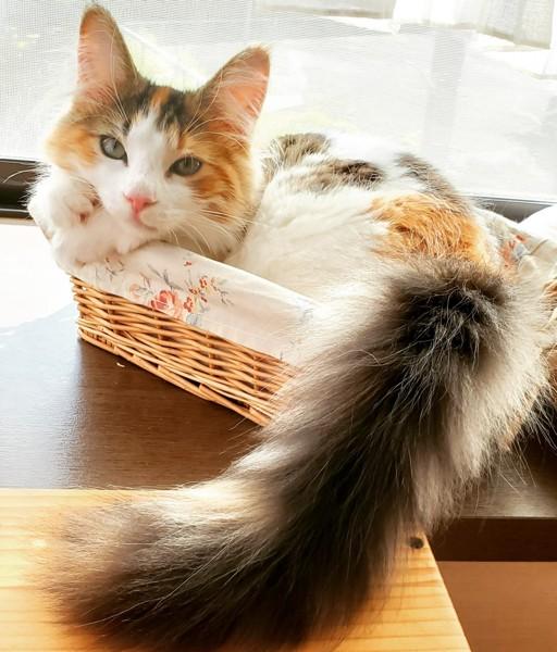 猫 ノルウェージャンフォレストキャット モカちゃんの写真