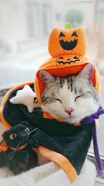 猫 スコ×マンチ しまりすの写真