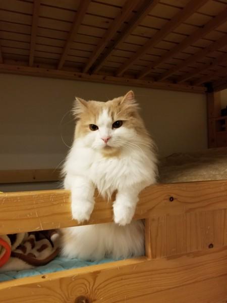 猫 スコティッシュフォールド まるの写真