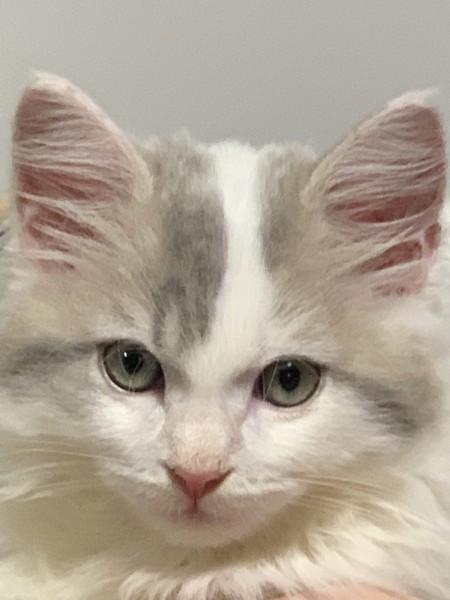 猫 サイベリアン アナスタシアの写真