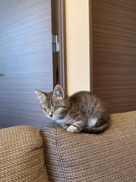 猫 サバトラ 華の写真