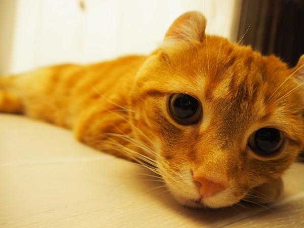 猫 アメリカンカール 美美太郎の写真