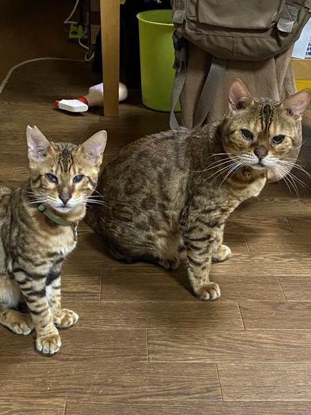 猫 ベンガル 蘭丸の写真