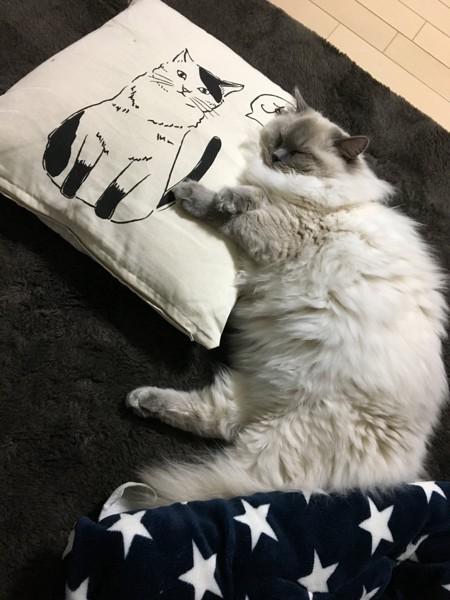 猫 ラグドール ノアの写真