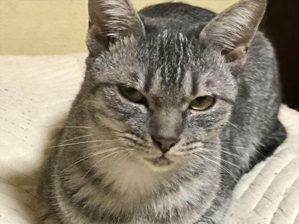 猫 雑種(ミックス) 雛子の写真