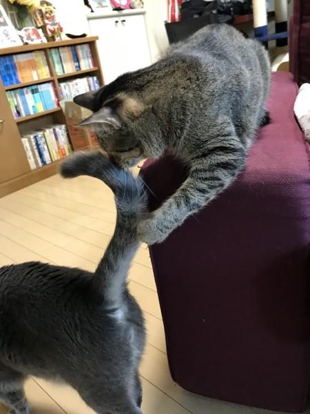 尻尾を取り押さえた猫