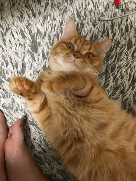猫 スコティッシュフォールド どらの写真