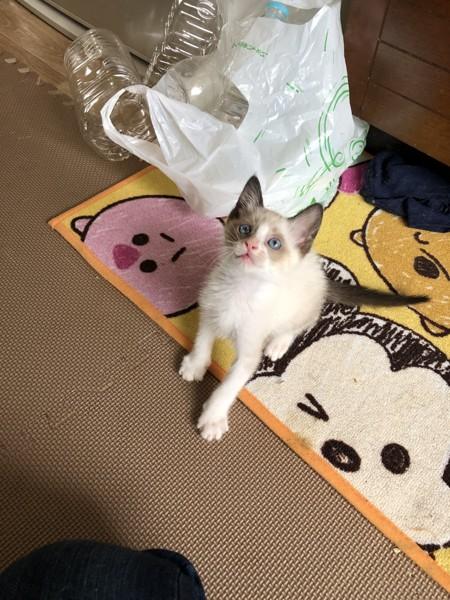 猫 雑種(ミックス) 福ちゃんの写真