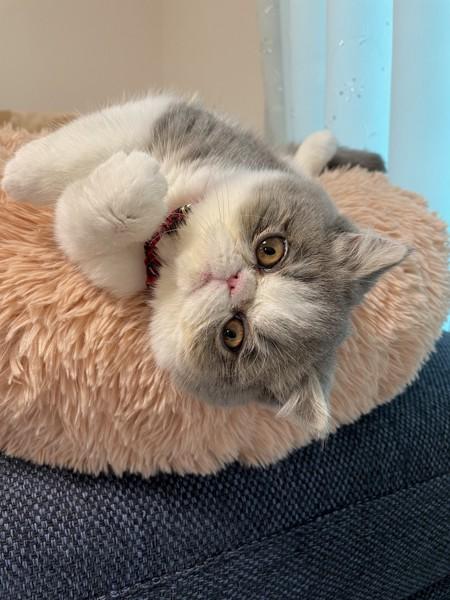猫 エキゾチックショートヘア もこちゃんの写真