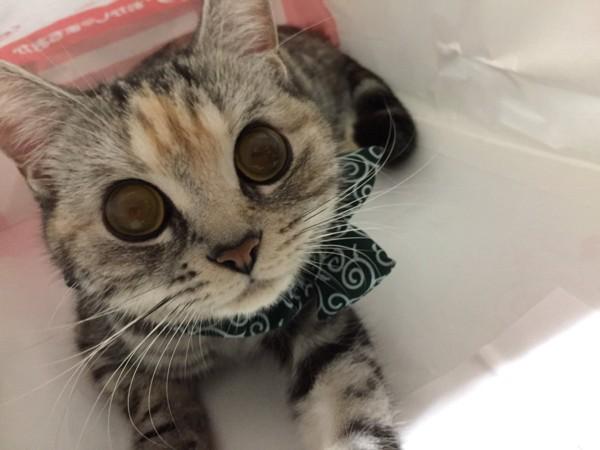 猫 スコティッシュストレート きな子の写真
