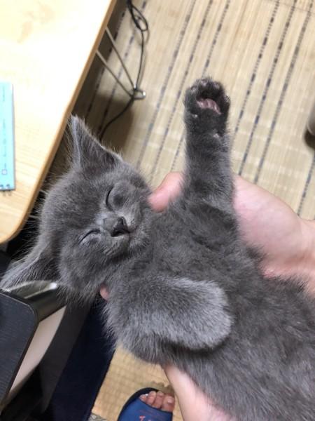 猫 ミックス ハチの写真