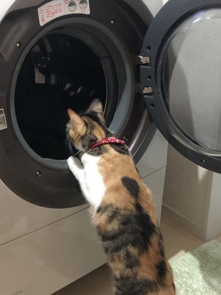 ドラム式洗濯機を覗き込む猫