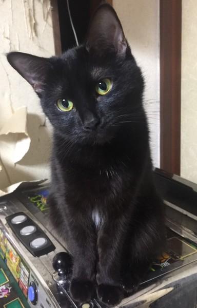 猫 マンチカン ムムの写真