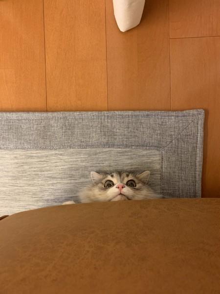 猫 スコティッシュフォールド ロコの写真