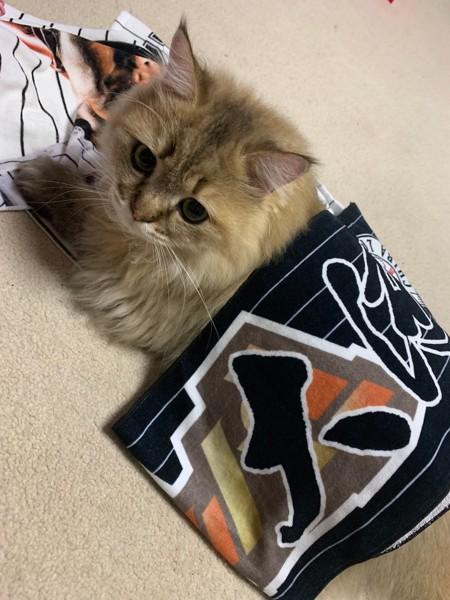 猫 チンチラペルシャ たいがの写真