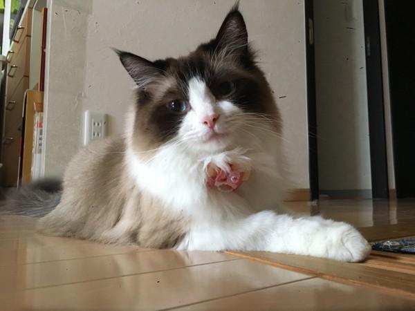 猫 ラグドール ゆずの写真