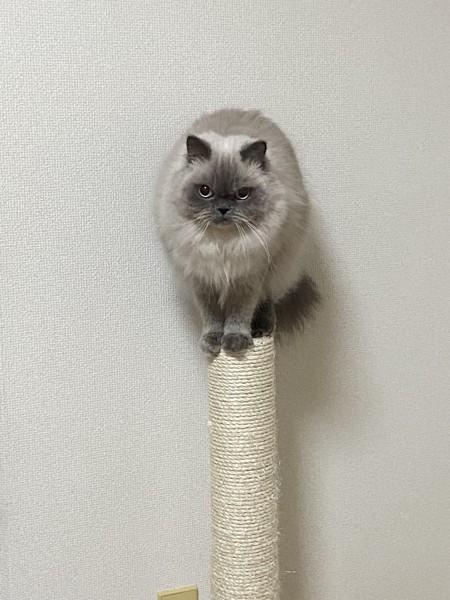猫 ヒマラヤン レニーの写真