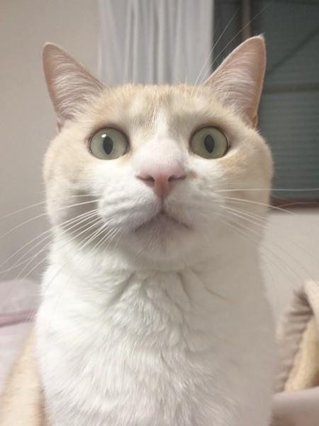猫 茶白トラ れもんの写真