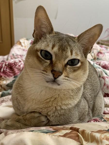 猫 シンガプーラ チョビの写真
