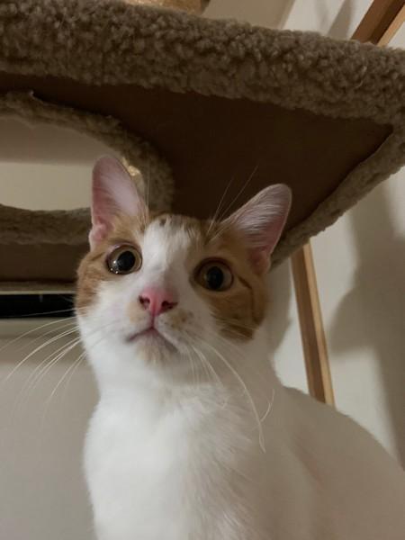 猫 茶白トラ べいのすけの写真