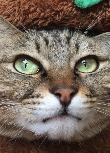 猫 雑種(ミックス) 仁吉の写真
