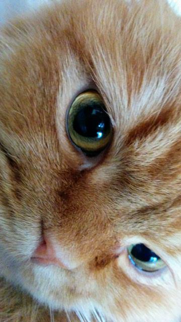 猫 スコティッシュフォールド チャピの写真
