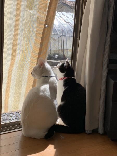 猫 雑種(ミックス) レオ&ソラの写真