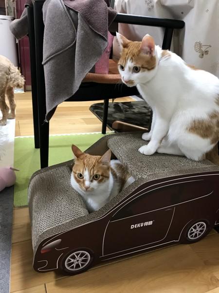 猫 茶白トラ パサラ&七宝の写真