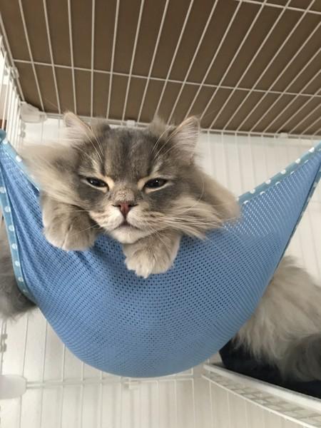 猫 スコティッシュフォールド じゃじゃ丸の写真