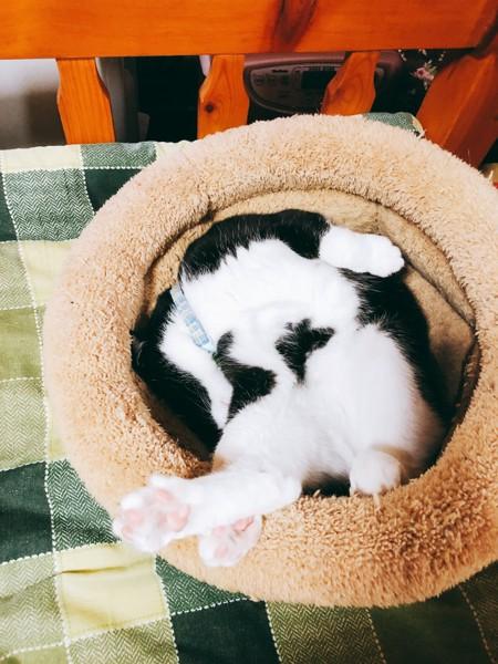 猫 雑種(ミックス) かのんの写真