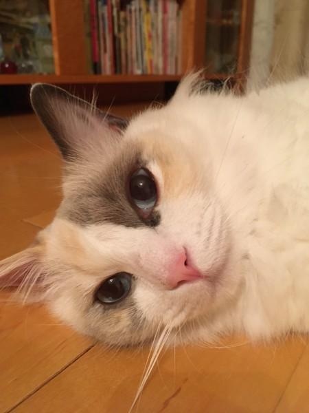 猫 ラグドール ロージーの写真