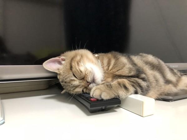 猫 アメリカンショートヘア 龍の写真