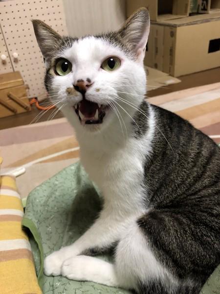 猫 雑種(ミックス) くうちゃんの写真