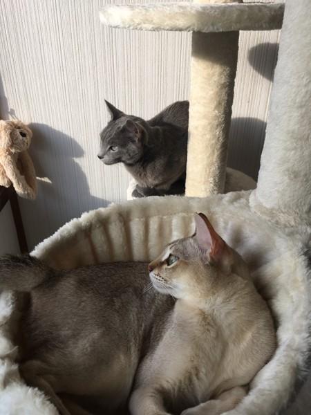 猫 ロシアンブルー リサの写真