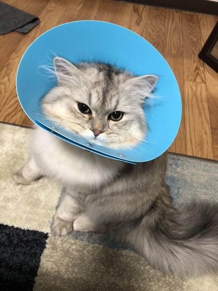 猫 ミヌエット 王子郎の写真