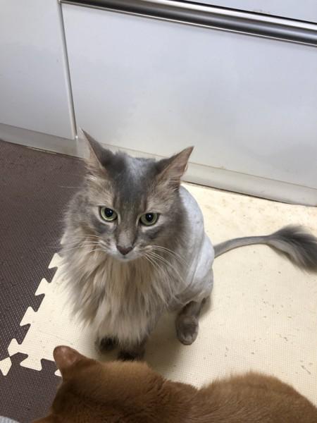 猫 ソマリ トキゾウの写真