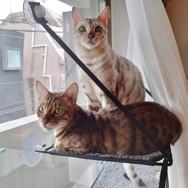 猫 ベンガル 天寅&景虎の写真