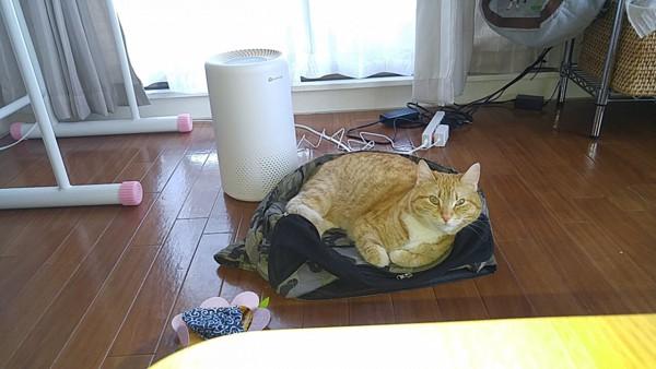 猫 マンチカン ぷっちょの写真